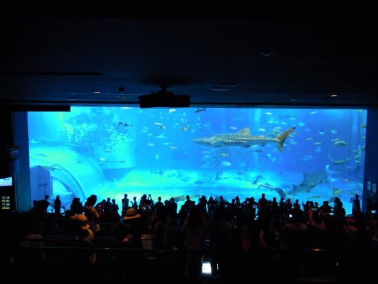 ジンベイザメ - Picture of Okinawa Churaumi Aquarium, Motobu-cho - TripAdvisor