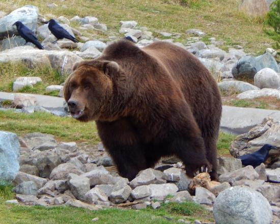 Gray Wolf Inn and Suites: Alaskan Grizzly at the Bear and Wolf Center