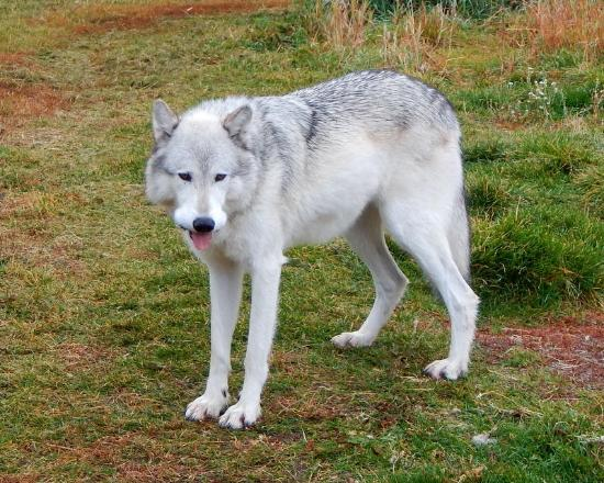 Gray Wolf Inn and Suites: Wolf at Bear and Wolf Center