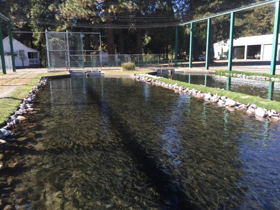 Mount shasta fish hatchery picture of mount shasta fish for California fish hatcheries