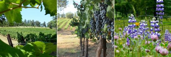 Amador City, Калифорния: Vineyard in Fiddletown