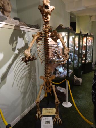 Creetown, UK: display with fossilised bear skelton
