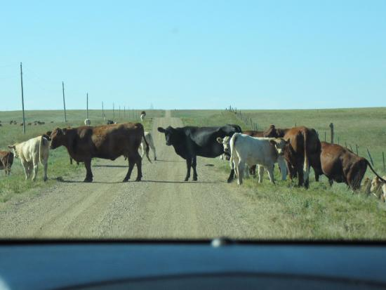 """Philip, SD: Cattle crossing the """"driveway"""" to Triangle Ranch B&B"""
