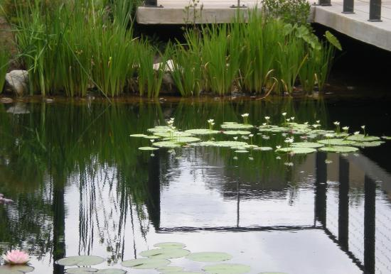 Our Lily Pond Picture Of Atlanta Botanical Garden Gainesville Tripadvisor