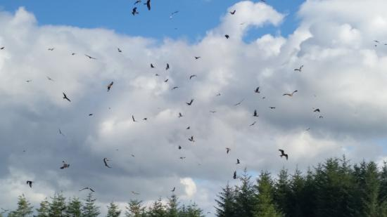 Bwlch Nant yr Arian Forest Visitor Centre: Kites at feeding time