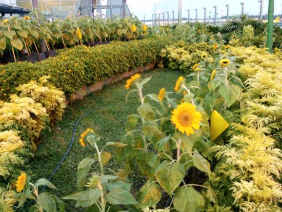 Beautiful bright sunflowers Picture of Sunflower Garden