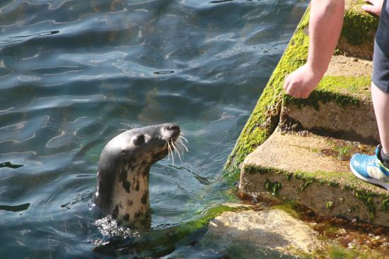 Cary Arms: Sam the resident Seal at the Jetty