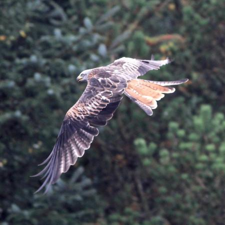 Bwlch Nant yr Arian Forest Visitor Centre: Red Kite at the Visitor Center