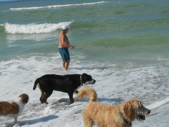 Venice, FL: our golden-doodle with new friends