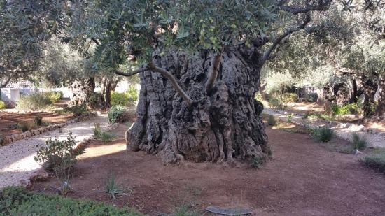 Oldest olive tree picture of garden of gethsemane for Age olive trees garden gethsemane
