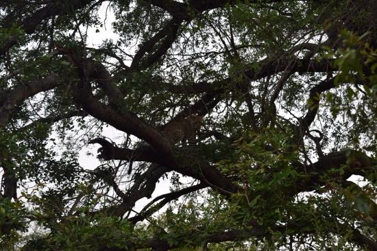 Lion Sands River Lodge: Leopard in a tree