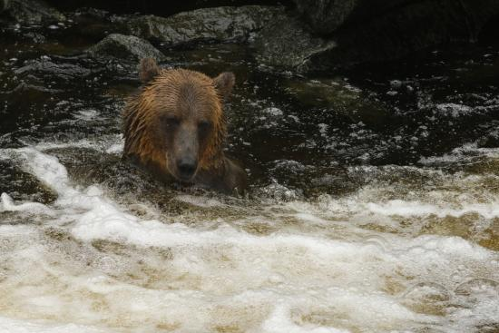 Wrangell, AK: Bear in Anan Creek