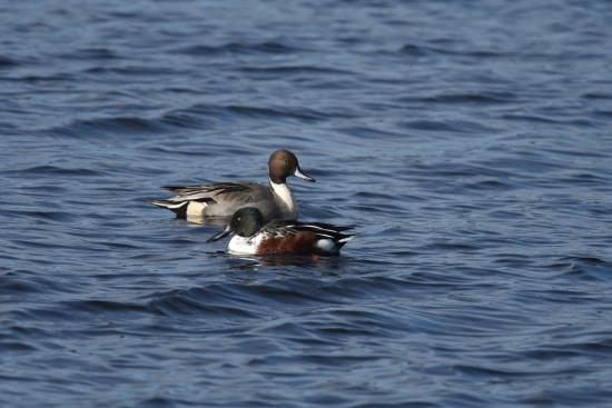 Cape May Point, NJ: Male Northern Shoveler and Northern Pintail
