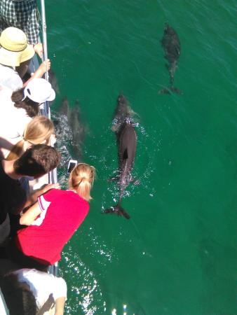 Huskisson, Avustralya: Dolphins hanging out with Tekin III - Spirit of Jervis Bay