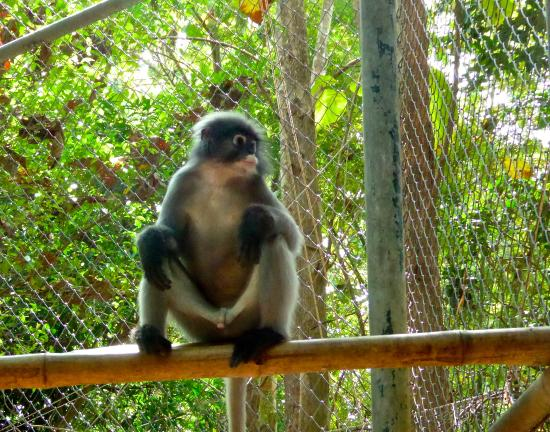 Dusky langur showing his wares - Picture of Wildlife ...