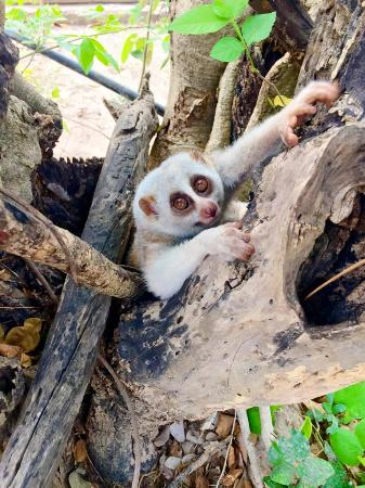 slow loris - Picture of Wildlife Friends of Thailand, Tha ...