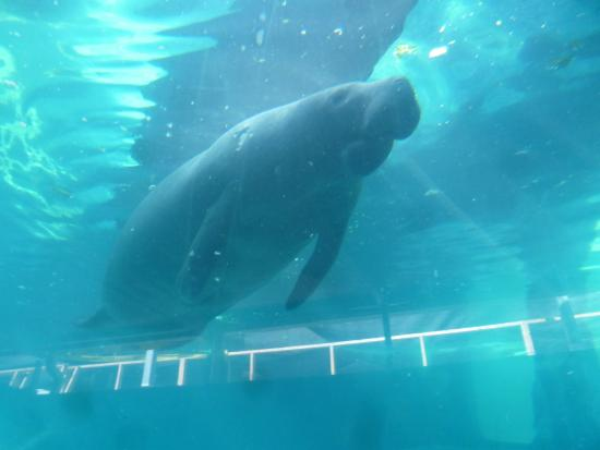 One Of Two Large Manatees Eating Picture Of Mote Marine