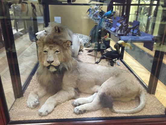 Lion Picture Of Natural History Museum At Tring Tring Tripadvisor