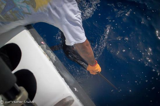 Day 2 releasing a sailfish m picture of quepos fish for Quepos fish adventure