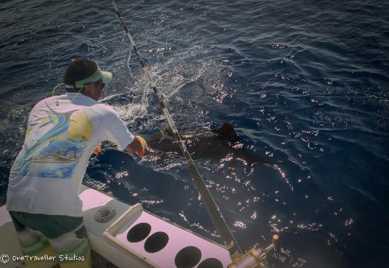 Day 2 releasing a sailfish d picture of quepos fish for Quepos fish adventure