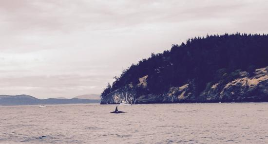 San Juan Islands, WA: One of MANY whales we saw on our amazing trip!