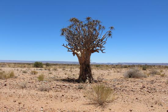 Augrabies Falls National Park, South Africa: A Quiver tree