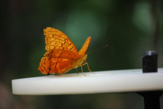 Bonville, Australia: Some of the beautiful butterflies