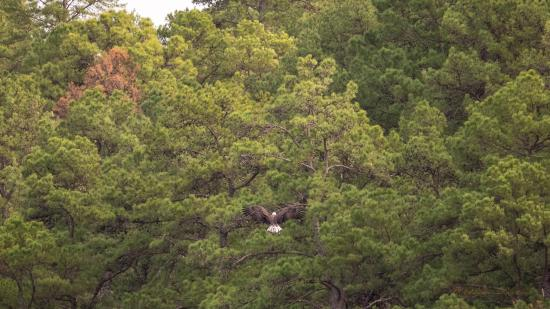 Bismarck, AR: Eagle landing in trees by Degray Lake