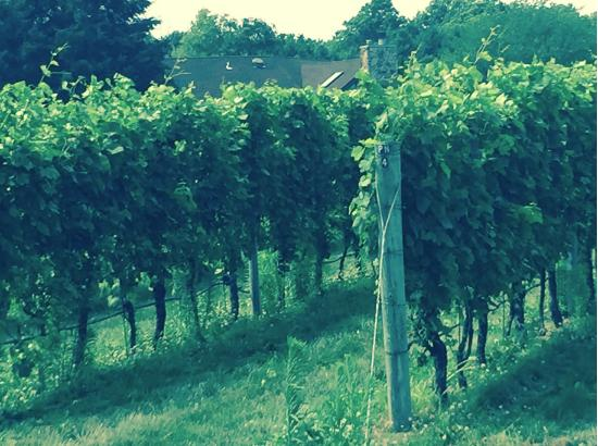 Mattituck, NY: Scenery at the Vineyard