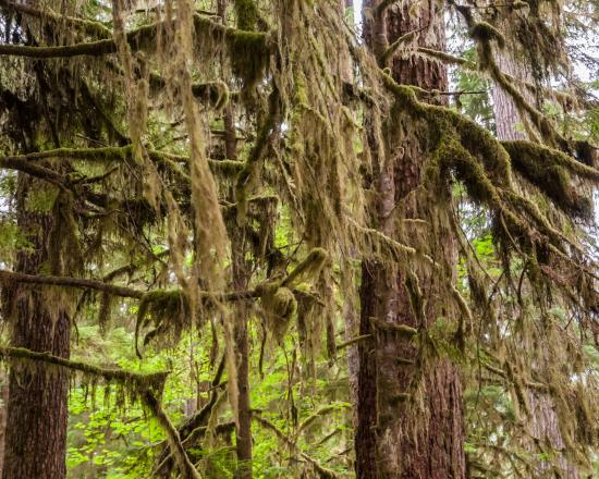 Quinault, WA: Moss Dripping from Branches