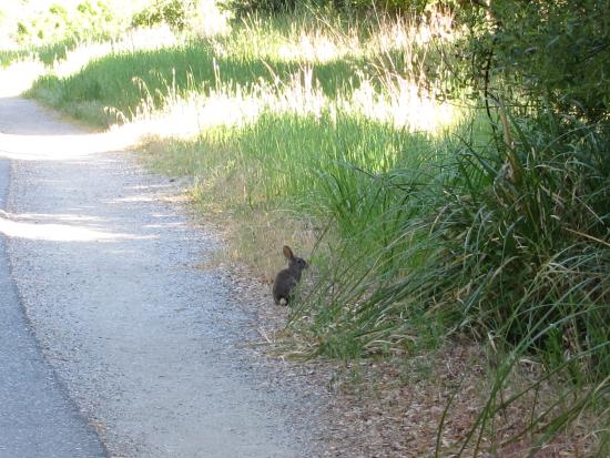 San Mateo, CA: Critters, like this jack rabbit, abound just off the trail