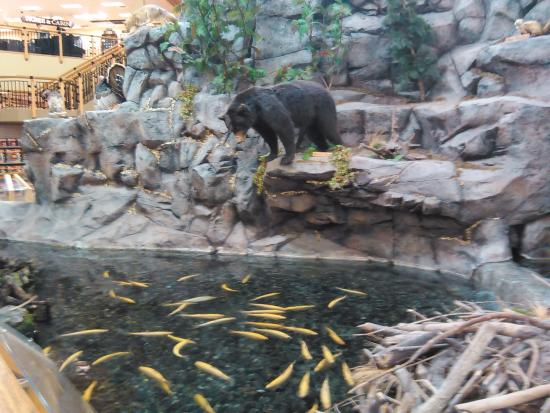 Hamburg, PA: Bear looking for a Fish Dinner