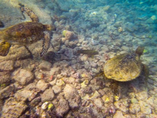 Keauhou, HI: These two swam right underneath me while I was just floating around.