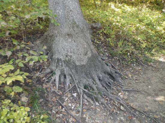 Bellevue, NE: Octopus tree