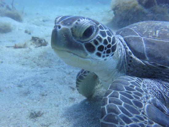 St. Kitts and Nevis: Turtle encounter