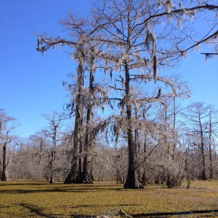 Breaux Bridge, LA: Champagne's Cajun Swamp Tours