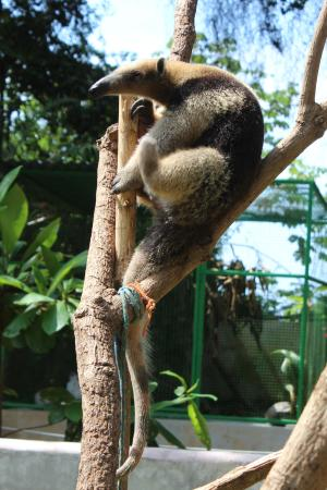 Dominical, Costa Rica: One of Mikes Illegal pets that cannot be released into the Wild Because?? Your donations