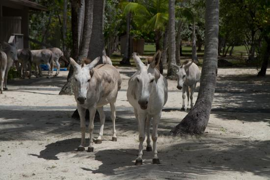 Caneel Bay, St. John: Donkeys came by each morning