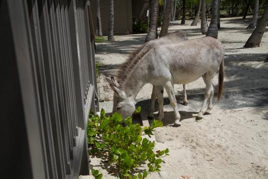 Caneel Bay, St. John: Donkeys would drink from the water to clean your feet!