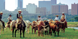 Fort Worth Herd Daily Cattle Drive