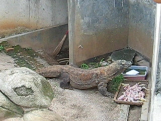 Java, Endonezya: Komodo Dragon Feeding Time