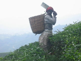 Pahang, Malaysia: Tea Pickers