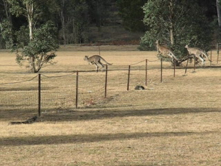 Mount Gambier, Australia: Kangaroos