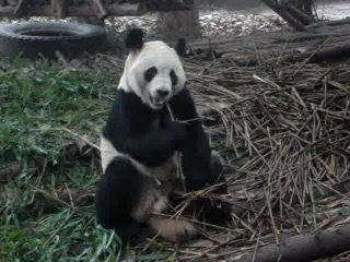 Panda Chewing Bamboo - so cute!