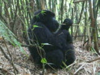 Ruanda: 9a - gorilla snacking
