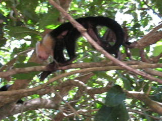 Manuel Antonio National Park, Costa Rica: Monkeys!