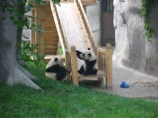 Chengdu, Chine : Panda Fun