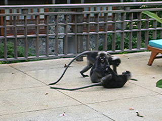 Langkawi, Malasia: dusk leaf monkies fighting