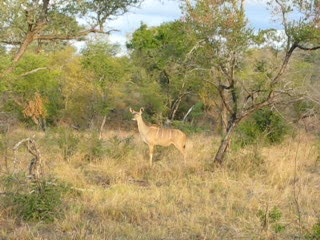 U.  Kudu giving the warning call