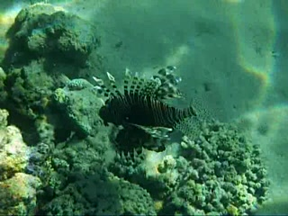 Nuweiba, Egypt: LIonfish off Swisscare Beach 12 7 2007